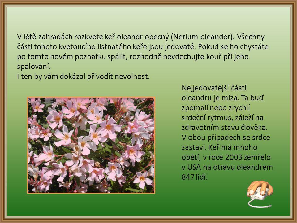 V létě zahradách rozkvete keř oleandr obecný (Nerium oleander)
