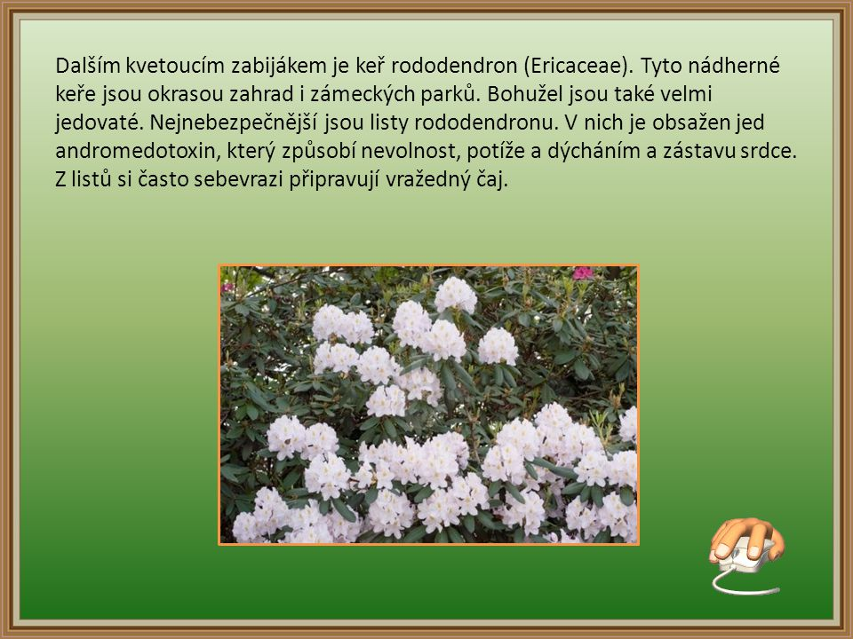Dalším kvetoucím zabijákem je keř rododendron (Ericaceae)