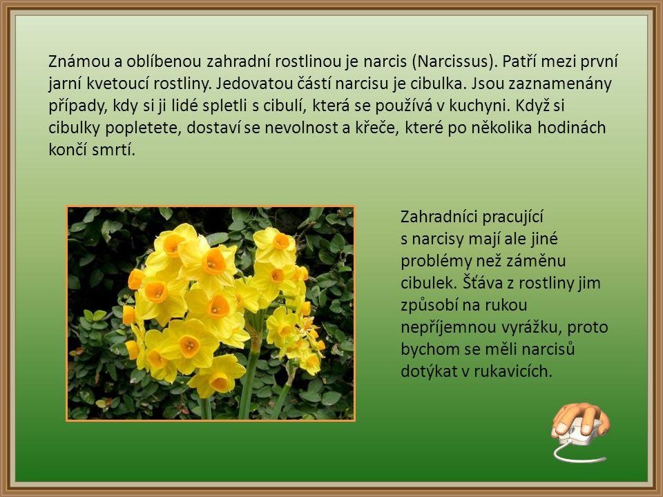 Známou a oblíbenou zahradní rostlinou je narcis (Narcissus)