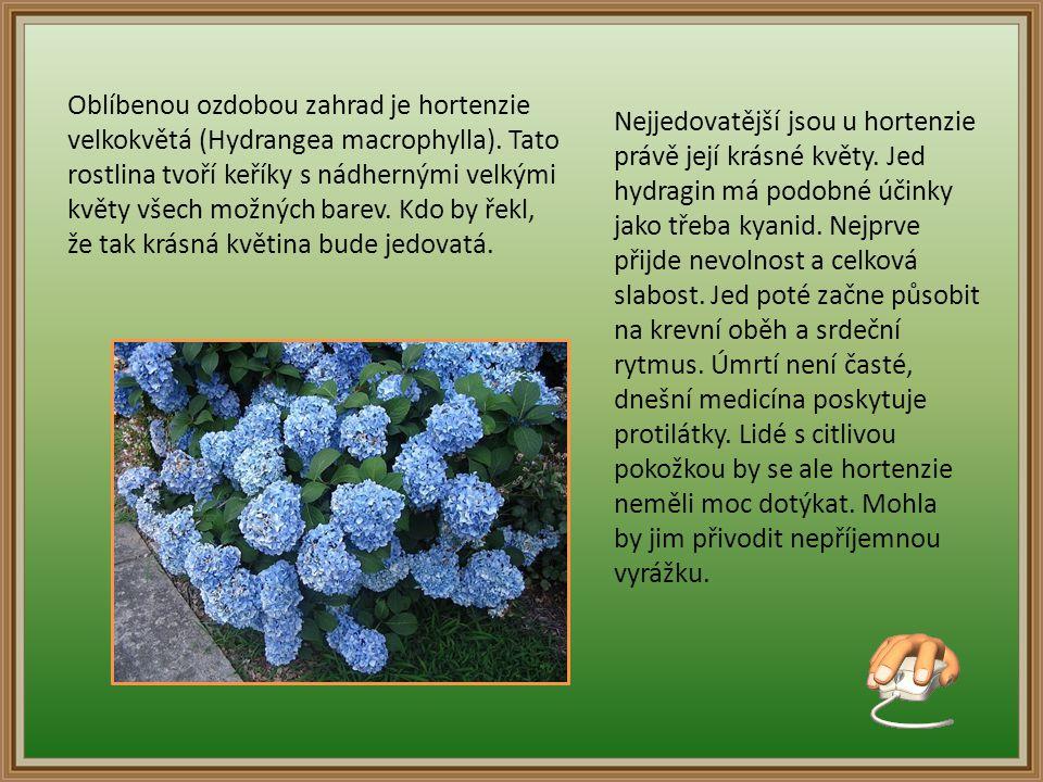 Oblíbenou ozdobou zahrad je hortenzie velkokvětá (Hydrangea macrophylla). Tato rostlina tvoří keříky s nádhernými velkými květy všech možných barev. Kdo by řekl,