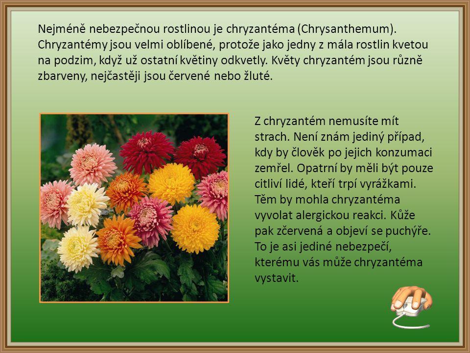Nejméně nebezpečnou rostlinou je chryzantéma (Chrysanthemum)