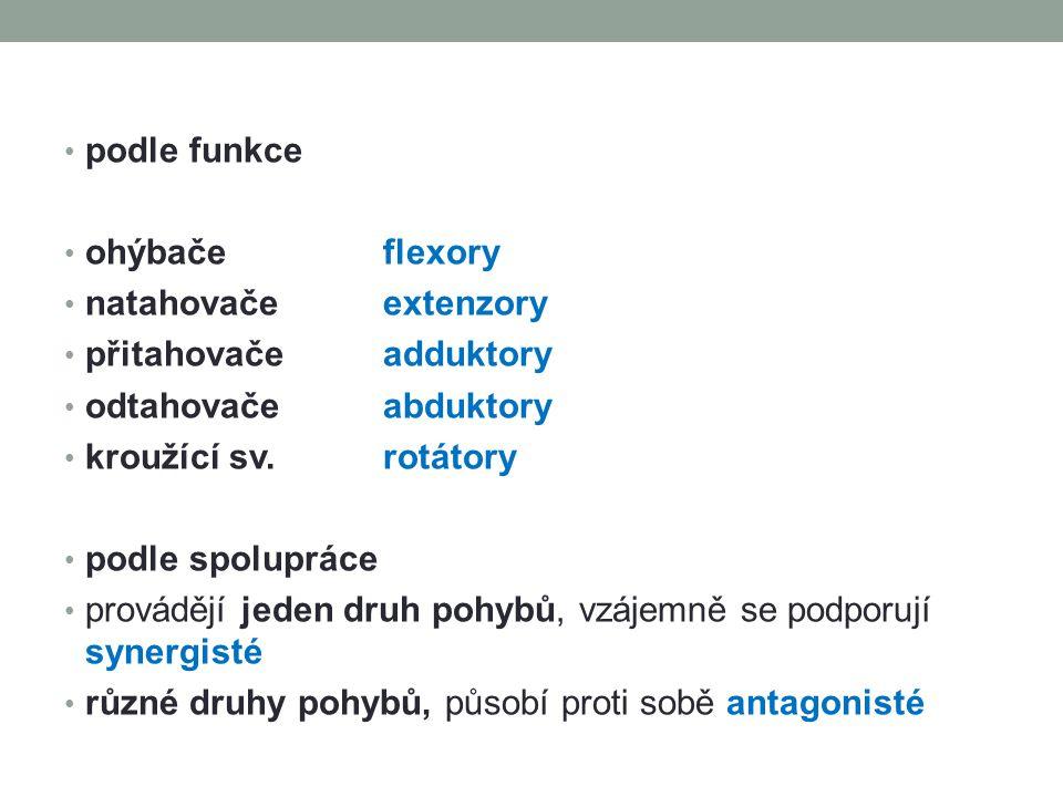 podle funkce ohýbače flexory. natahovače extenzory. přitahovače adduktory. odtahovače abduktory.