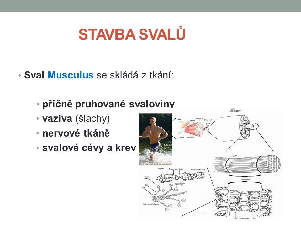 STAVBA SVALŮ Sval Musculus se skládá z tkání: