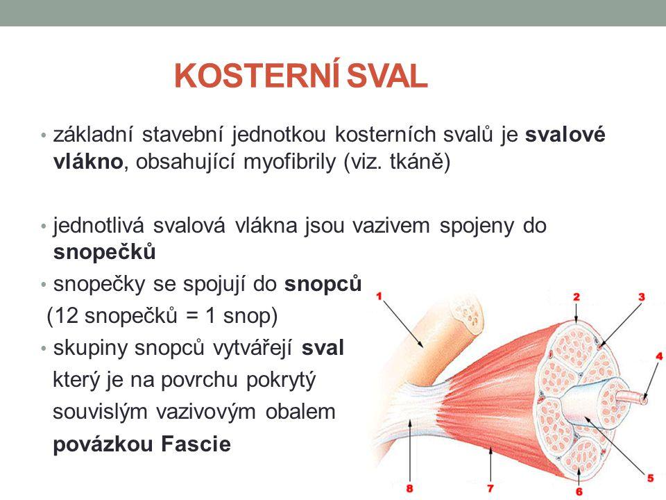 KOSTERNÍ SVAL základní stavební jednotkou kosterních svalů je svalové vlákno, obsahující myofibrily (viz. tkáně)