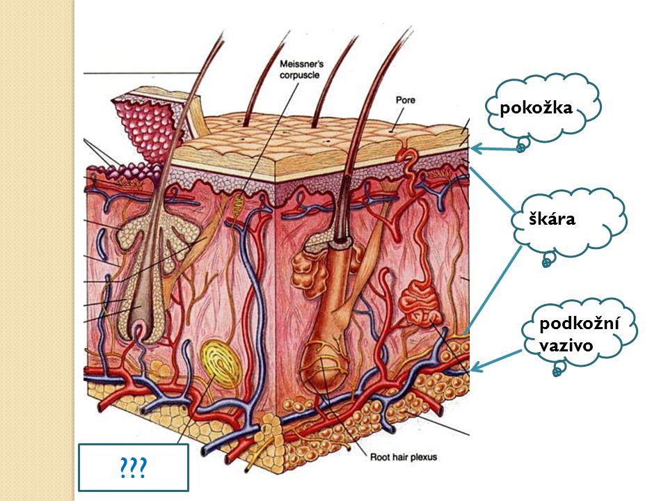 pokožka škára podkožní vazivo HMATOVÉ TĚLÍSKO