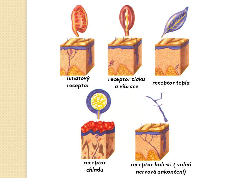receptor tlaku a vibrace receptor bolesti ( volná nervová zakončení)