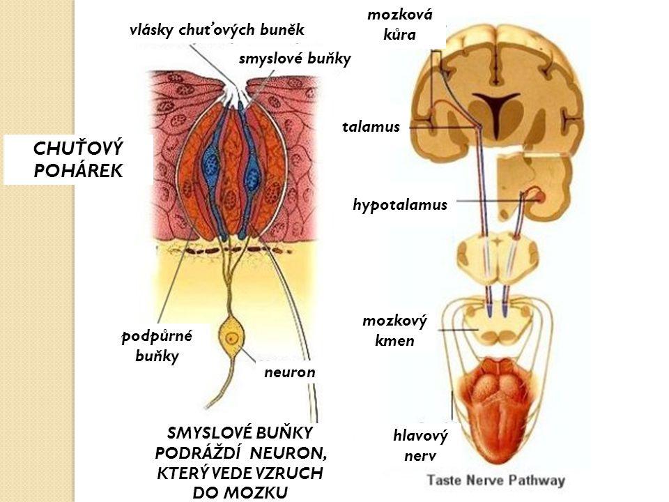 CHUŤOVÝ POHÁREK mozková kůra vlásky chuťových buněk smyslové buňky