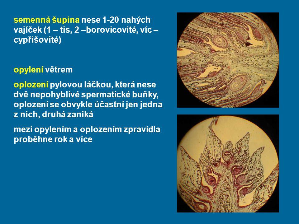 semenná šupina nese 1-20 nahých vajíček (1 – tis, 2 –borovicovité, víc – cypřišovité)