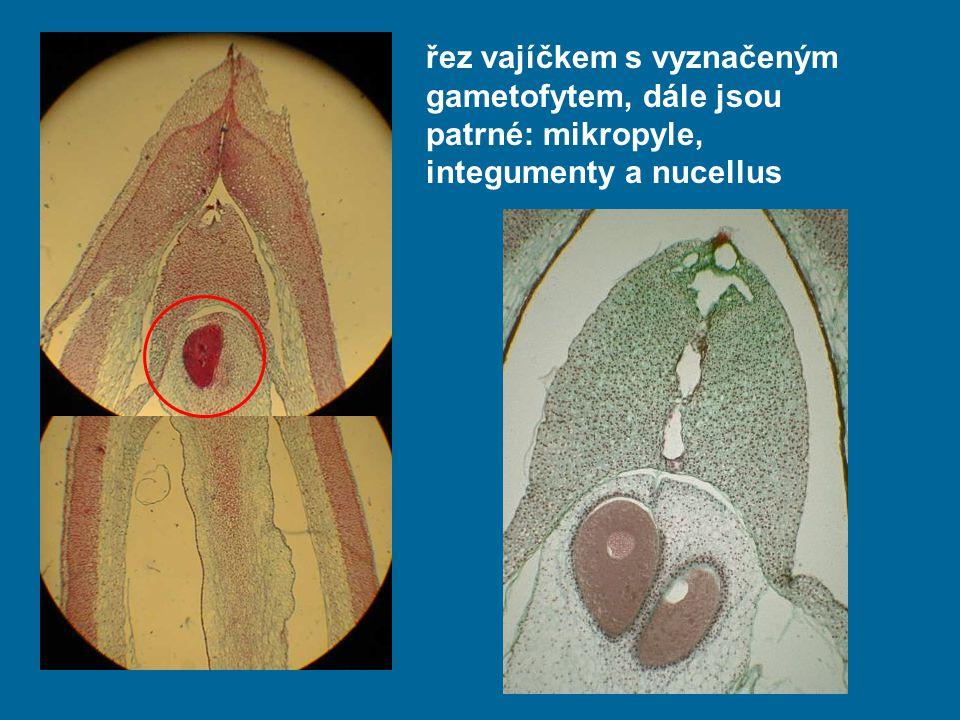 řez vajíčkem s vyznačeným gametofytem, dále jsou patrné: mikropyle, integumenty a nucellus
