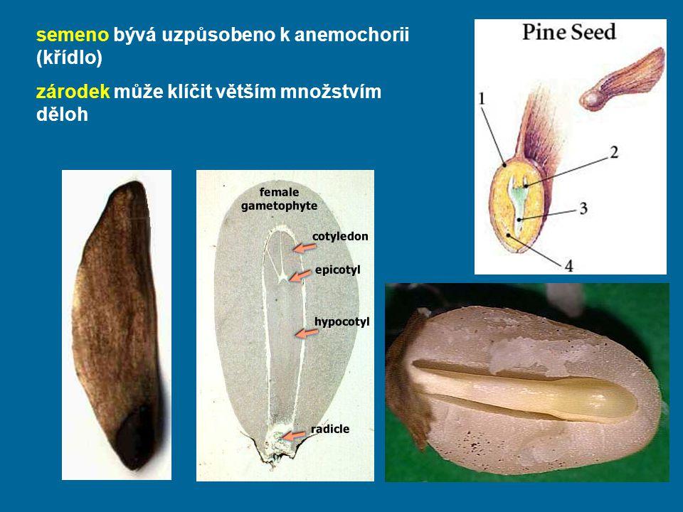 semeno bývá uzpůsobeno k anemochorii (křídlo)
