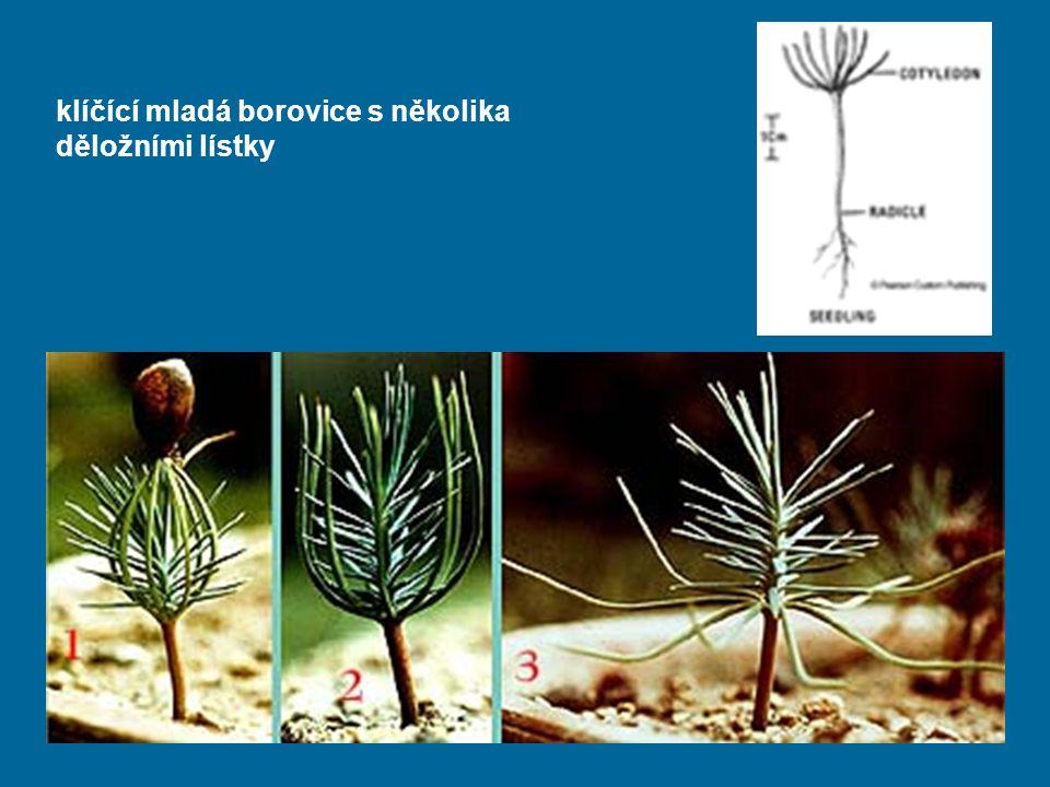 klíčící mladá borovice s několika děložními lístky