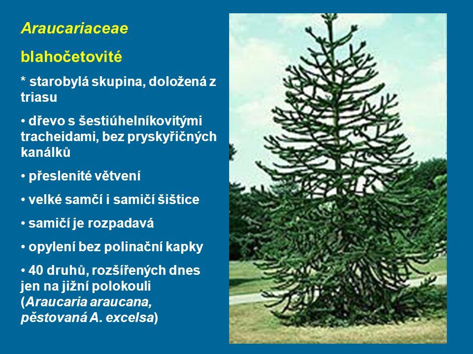 Araucariaceae blahočetovité * starobylá skupina, doložená z triasu
