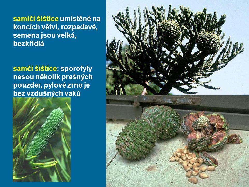 samičí šištice umístěné na koncích větví, rozpadavé, semena jsou velká, bezkřídlá