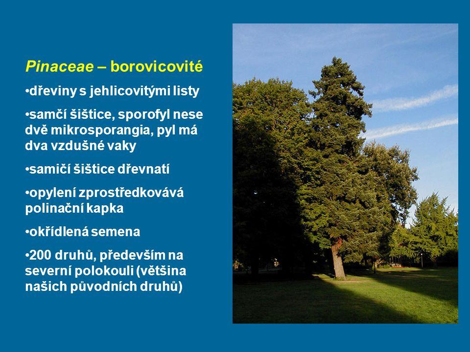 Pinaceae – borovicovité