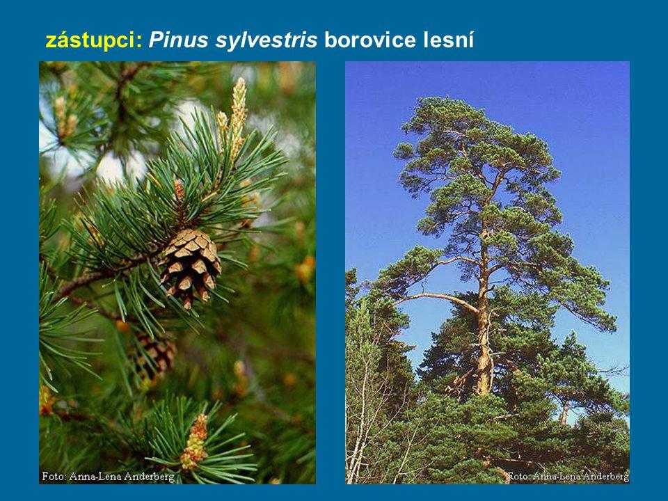 zástupci: Pinus sylvestris borovice lesní