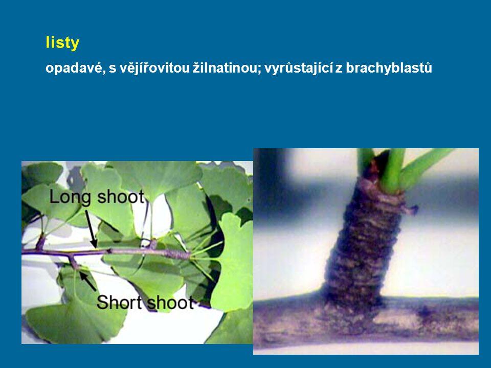 listy opadavé, s vějířovitou žilnatinou; vyrůstající z brachyblastů