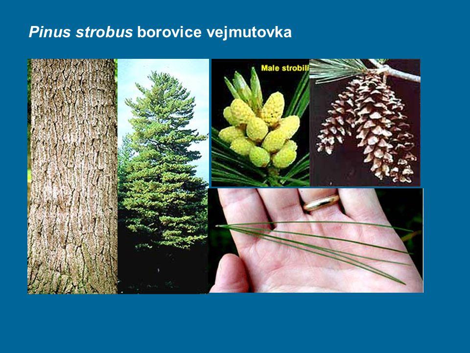 Pinus strobus borovice vejmutovka