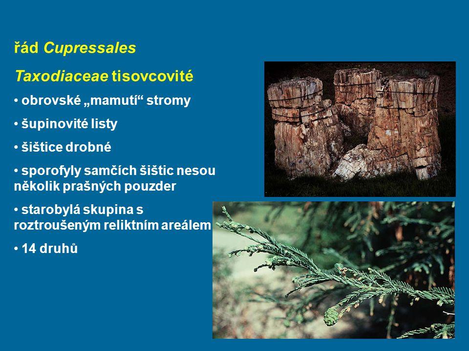 Taxodiaceae tisovcovité