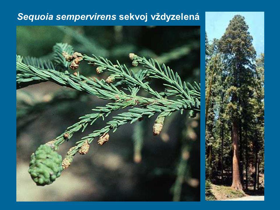 Sequoia sempervirens sekvoj vždyzelená
