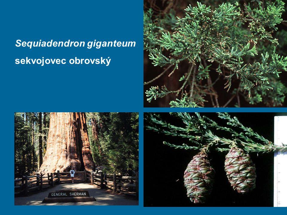 Sequiadendron giganteum