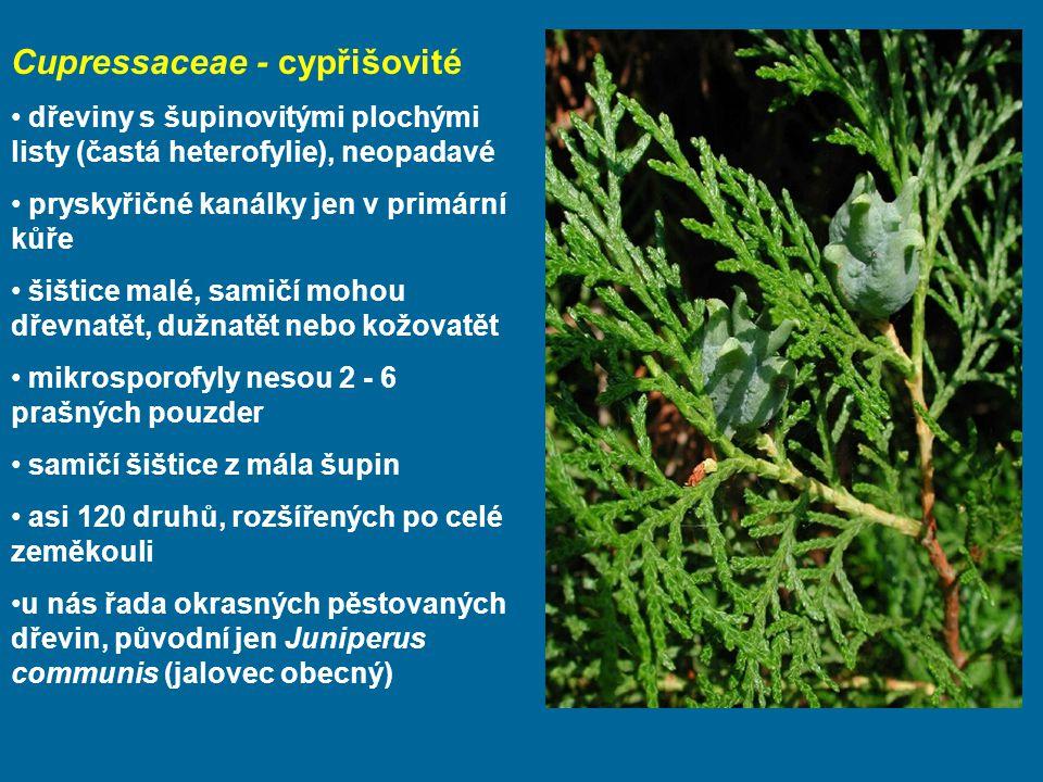 Cupressaceae - cypřišovité