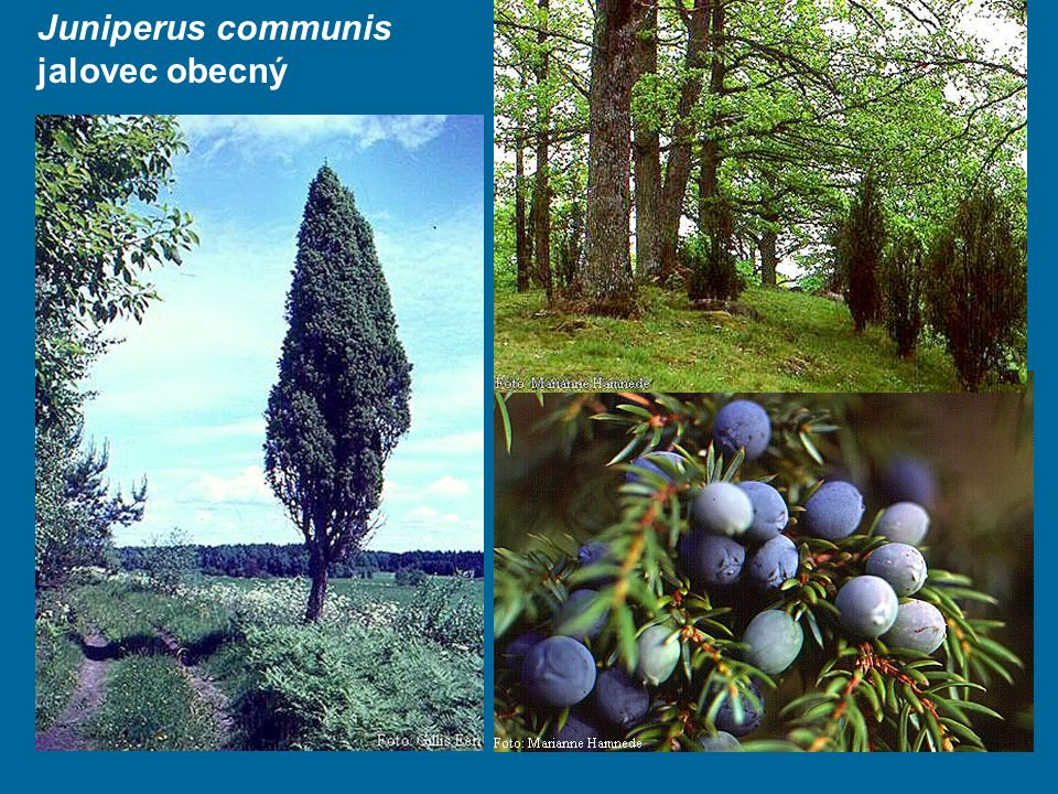 Juniperus communis jalovec obecný