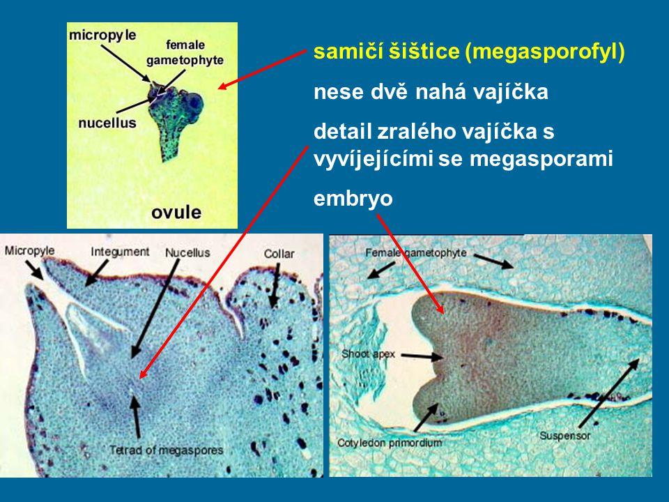 samičí šištice (megasporofyl)