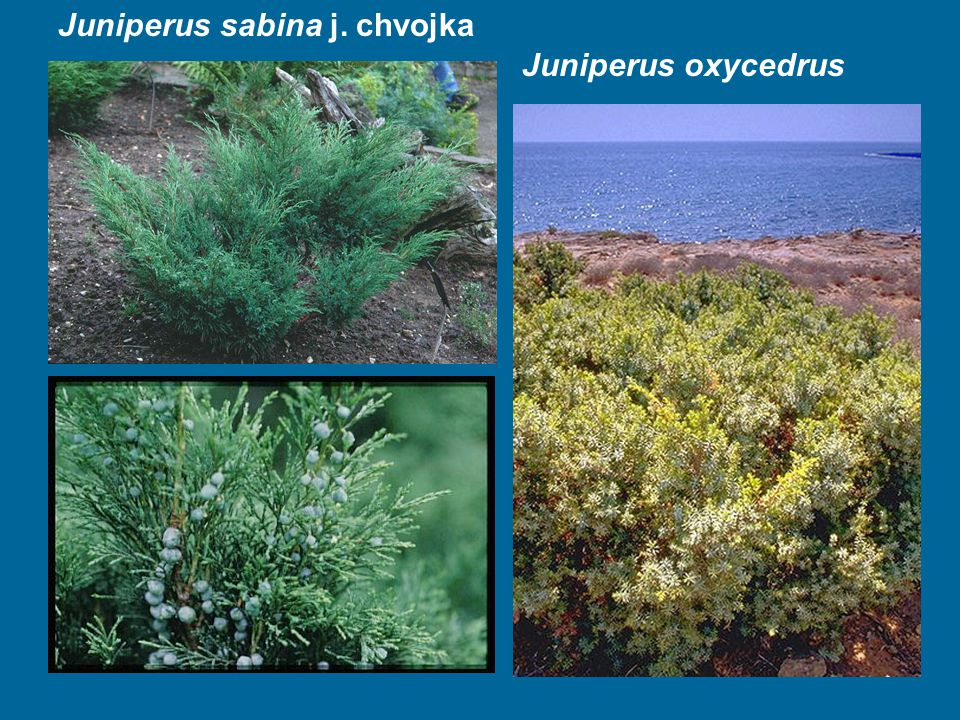 Juniperus sabina j. chvojka