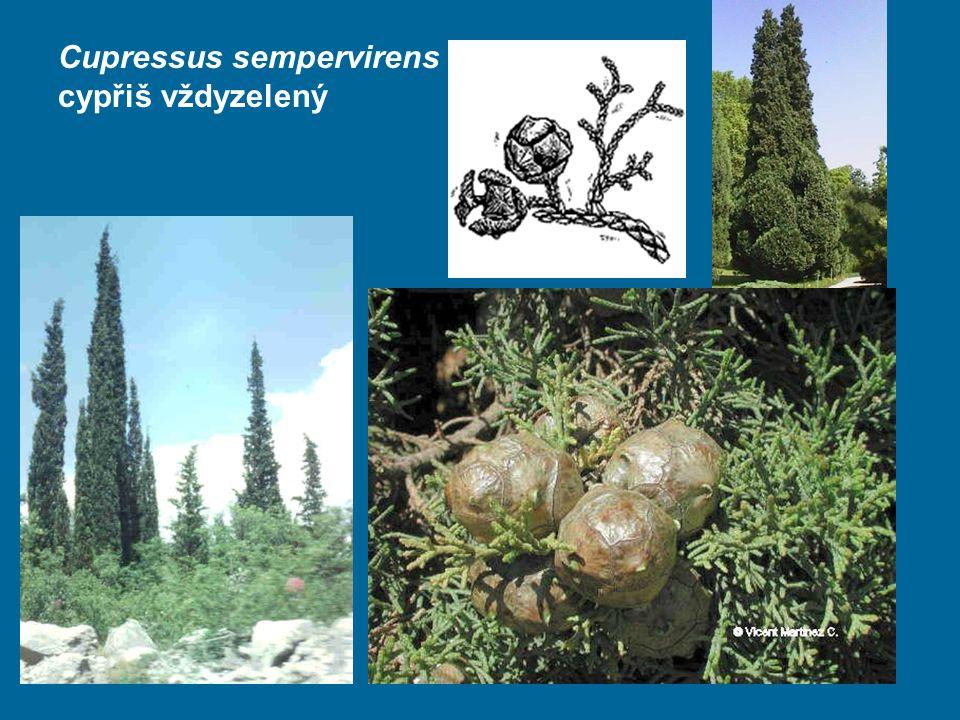 Cupressus sempervirens cypřiš vždyzelený