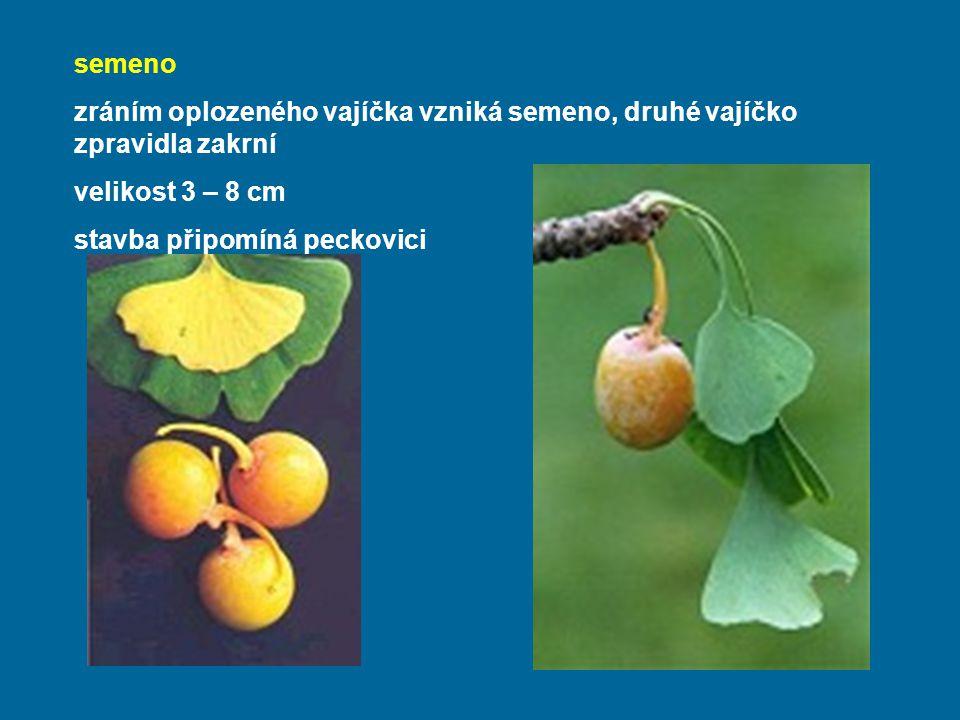 semeno zráním oplozeného vajíčka vzniká semeno, druhé vajíčko zpravidla zakrní. velikost 3 – 8 cm.
