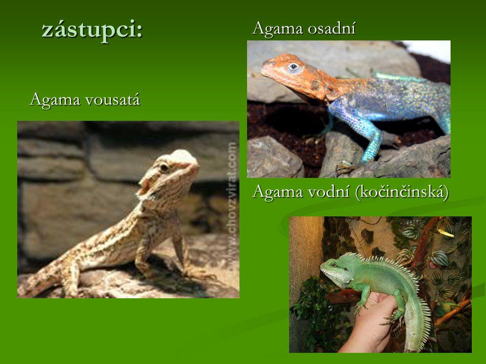zástupci: Agama osadní Agama vodní (kočinčinská) Agama vousatá