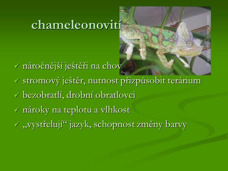 chameleonovití náročnější ještěři na chov
