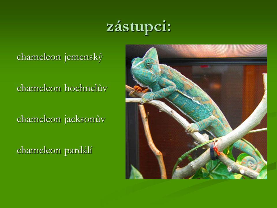 zástupci: chameleon jemenský chameleon hoehnelův chameleon jacksonův