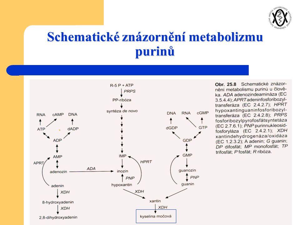 Schematické znázornění metabolizmu purinů