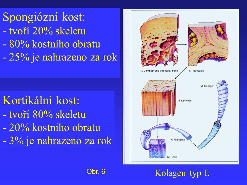 Spongiózní kost: Kortikální kost: - tvoří 20% skeletu