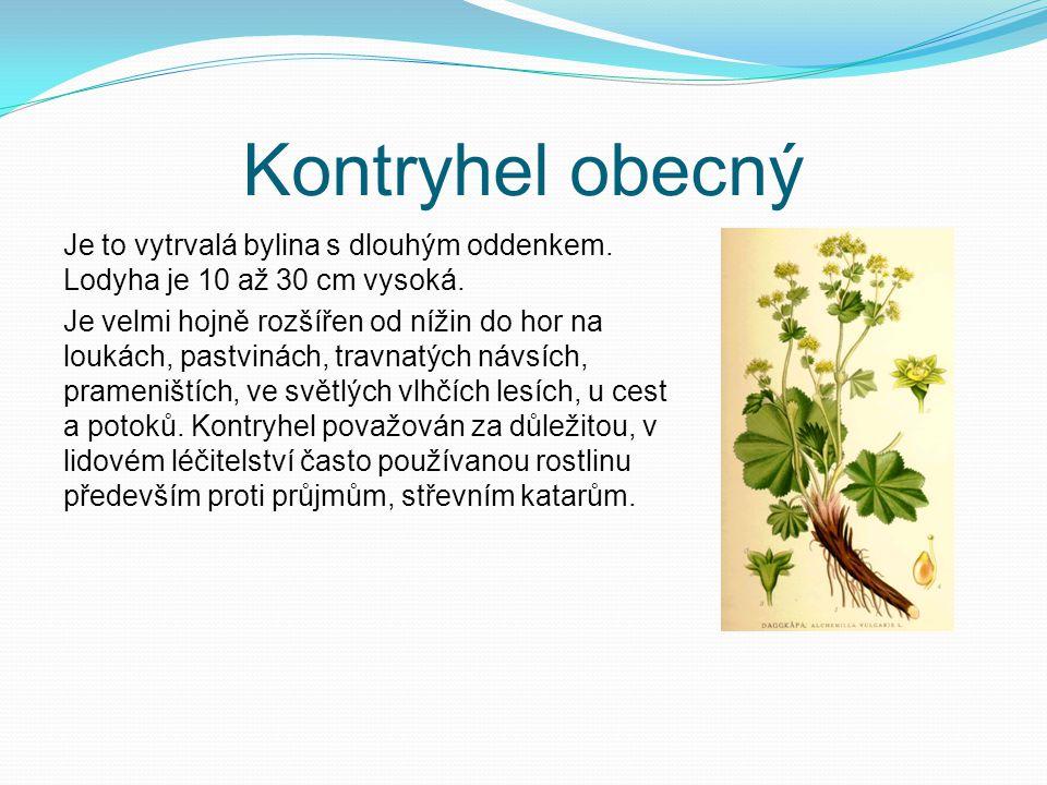 Kontryhel obecný Je to vytrvalá bylina s dlouhým oddenkem. Lodyha je 10 až 30 cm vysoká.