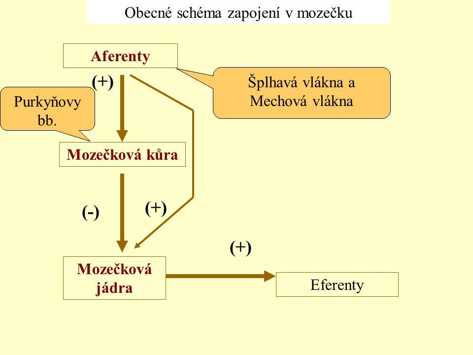 Obecné schéma zapojení v mozečku