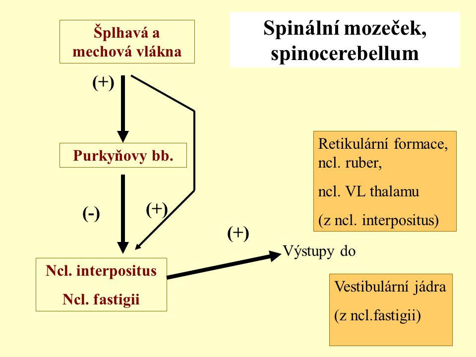 Spinální mozeček, spinocerebellum Šplhavá a mechová vlákna