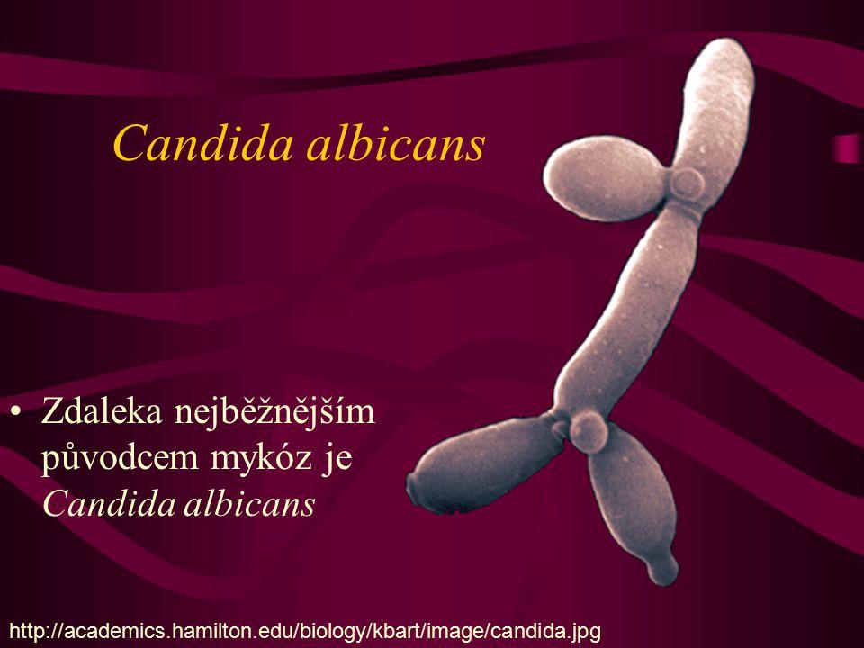 Candida albicans Zdaleka nejběžnějším původcem mykóz je Candida albicans.