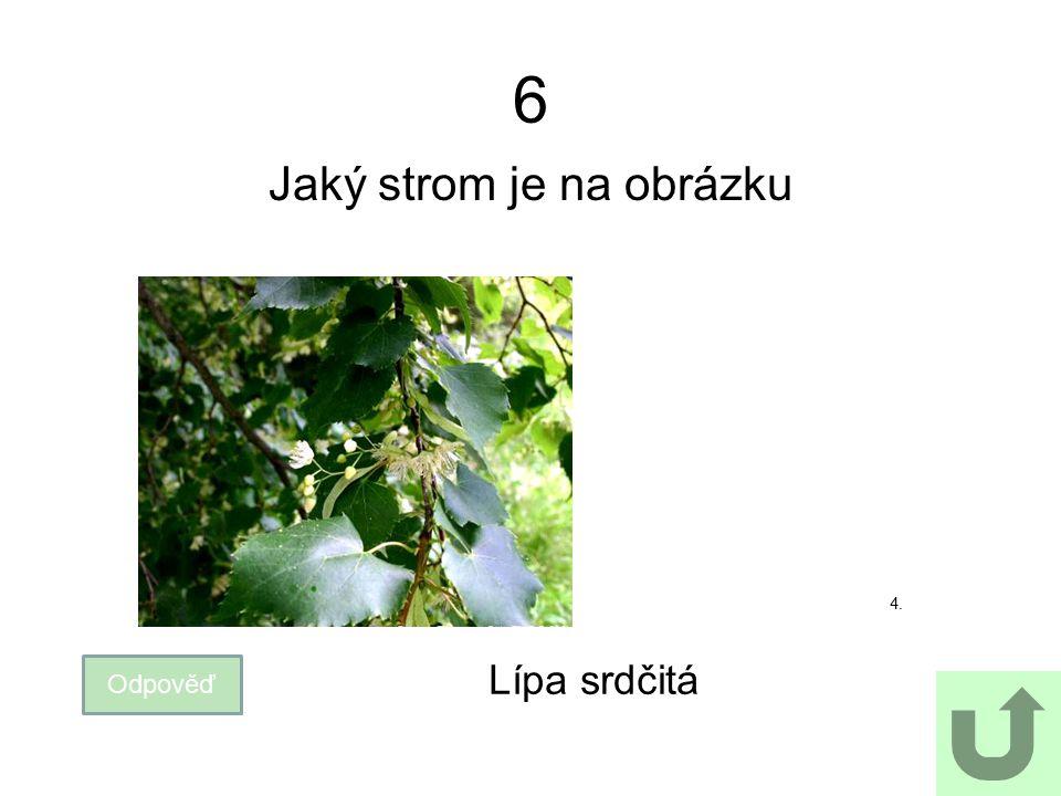 Jaký strom je na obrázku