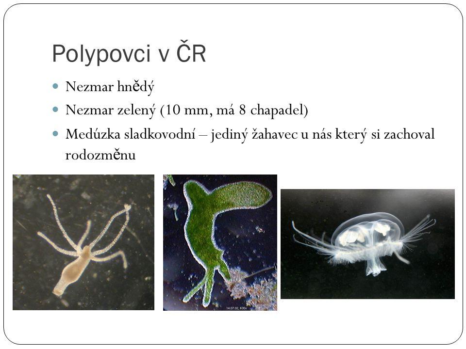 Polypovci v ČR Nezmar hnědý Nezmar zelený (10 mm, má 8 chapadel)