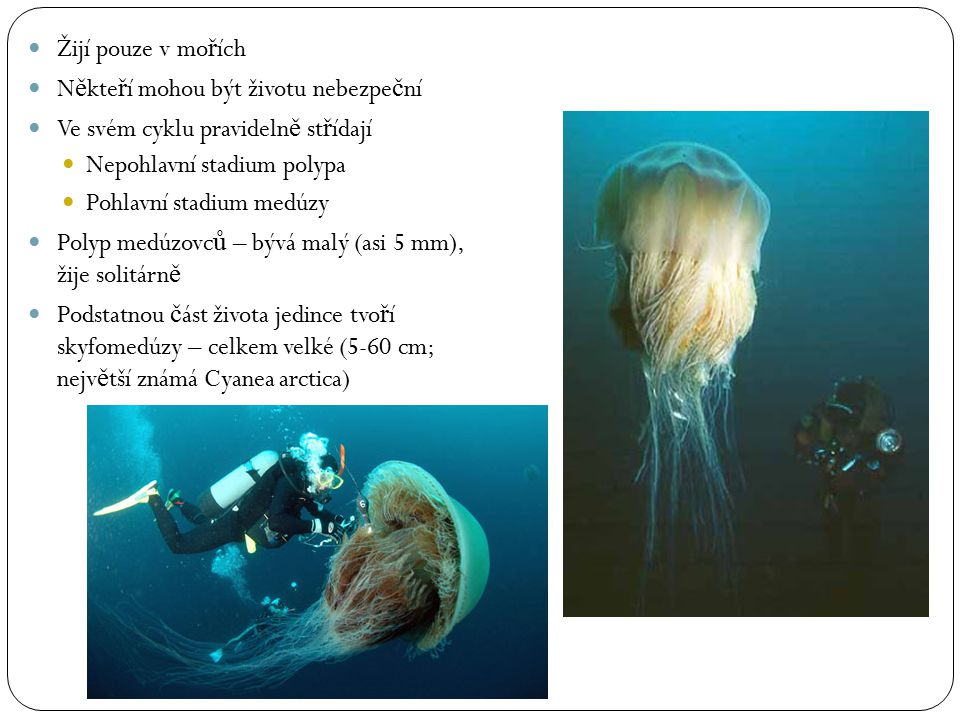 Žijí pouze v mořích Někteří mohou být životu nebezpeční. Ve svém cyklu pravidelně střídají. Nepohlavní stadium polypa.