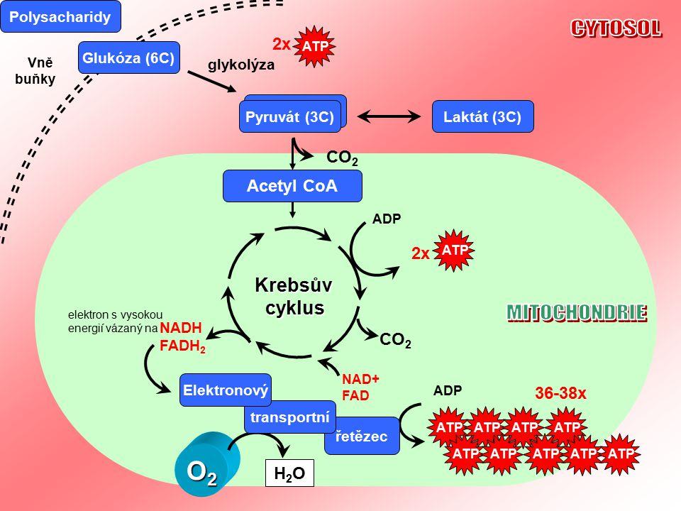 CYTOSOL MITOCHONDRIE O2 Krebsův cyklus 2x CO2 Acetyl CoA 2x CO2 36-38x