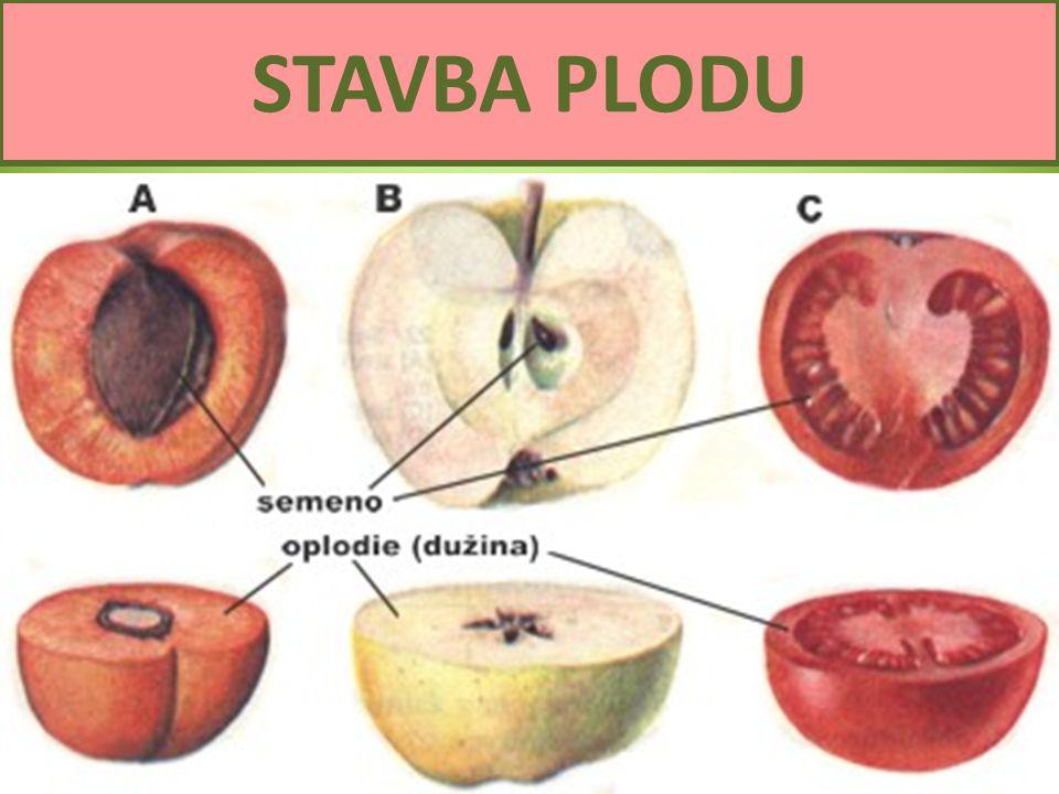 STAVBA PLODU Semena a plody