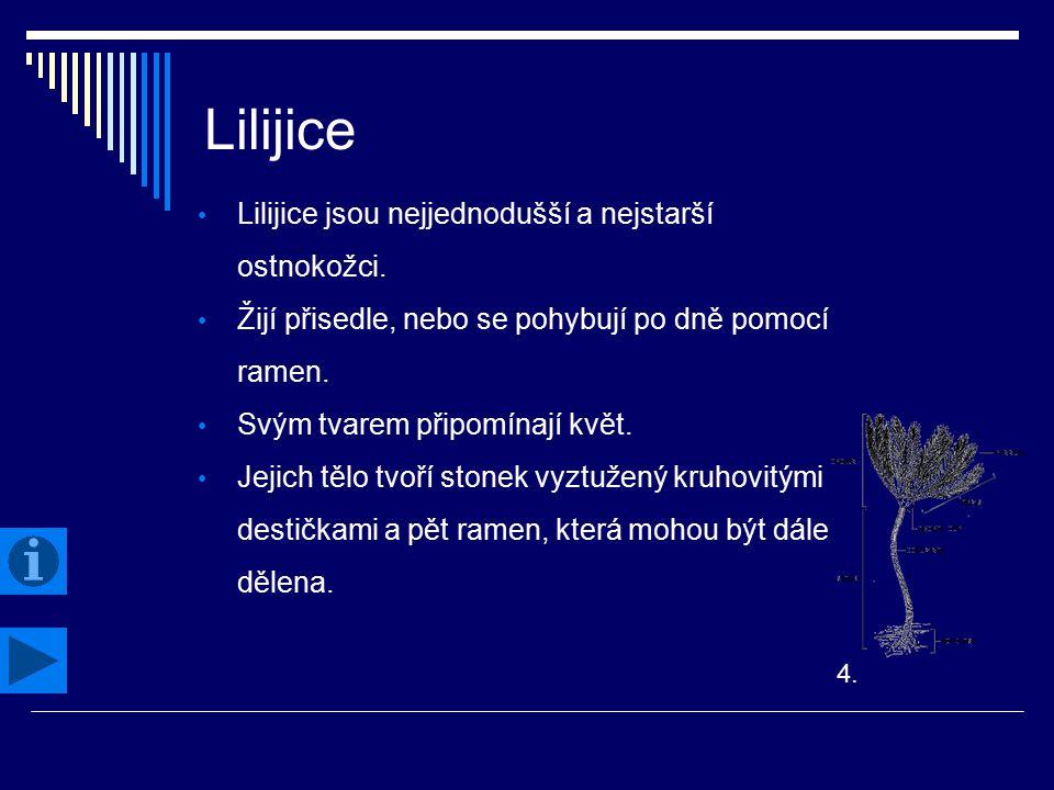 Lilijice Lilijice jsou nejjednodušší a nejstarší ostnokožci.