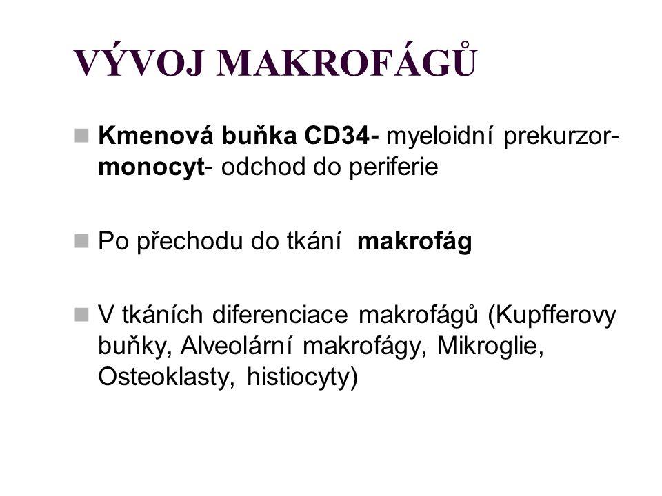 VÝVOJ MAKROFÁGŮ Kmenová buňka CD34- myeloidní prekurzor- monocyt- odchod do periferie. Po přechodu do tkání makrofág.