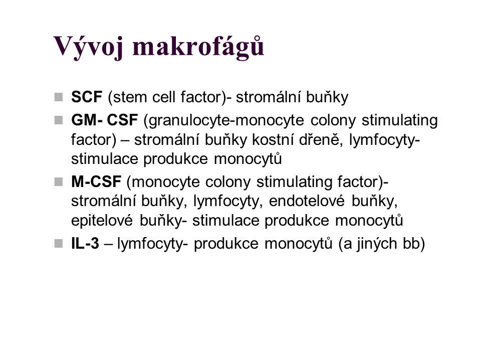 Vývoj makrofágů SCF (stem cell factor)- stromální buňky