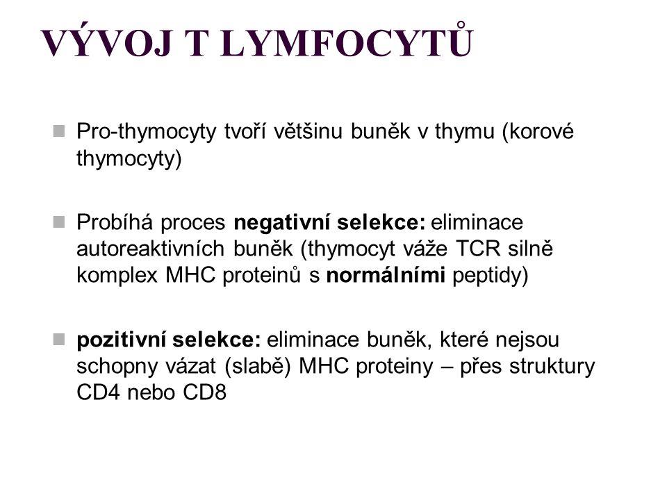 VÝVOJ T LYMFOCYTŮ Pro-thymocyty tvoří většinu buněk v thymu (korové thymocyty)