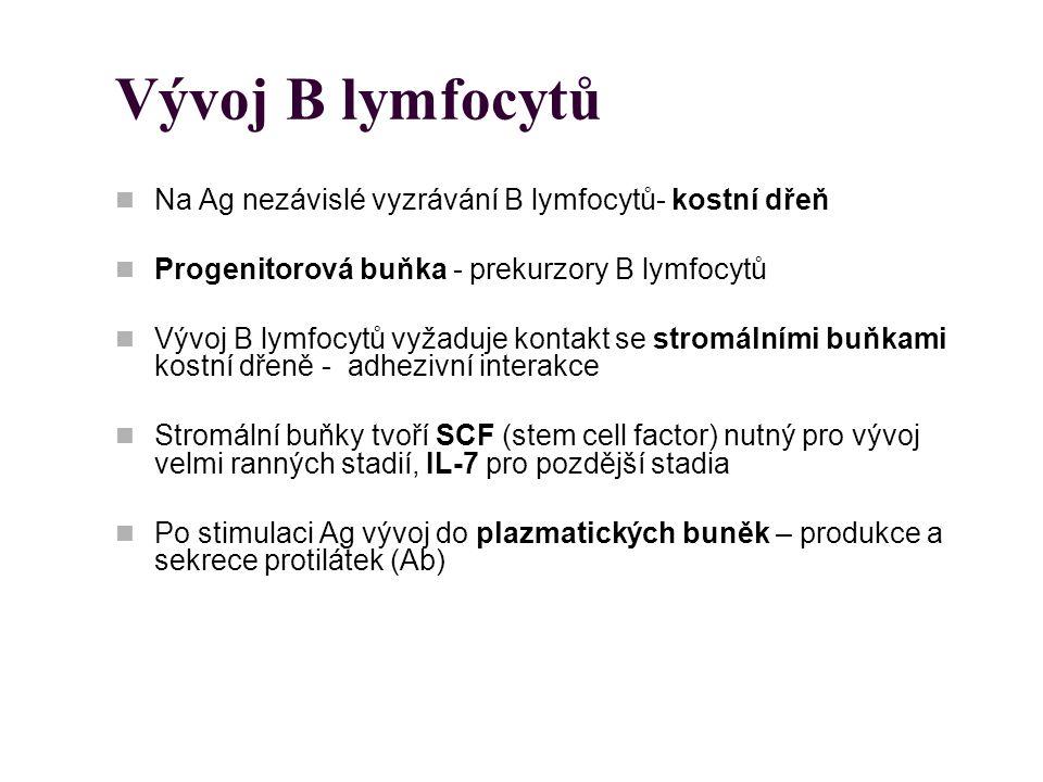 Vývoj B lymfocytů Na Ag nezávislé vyzrávání B lymfocytů- kostní dřeň