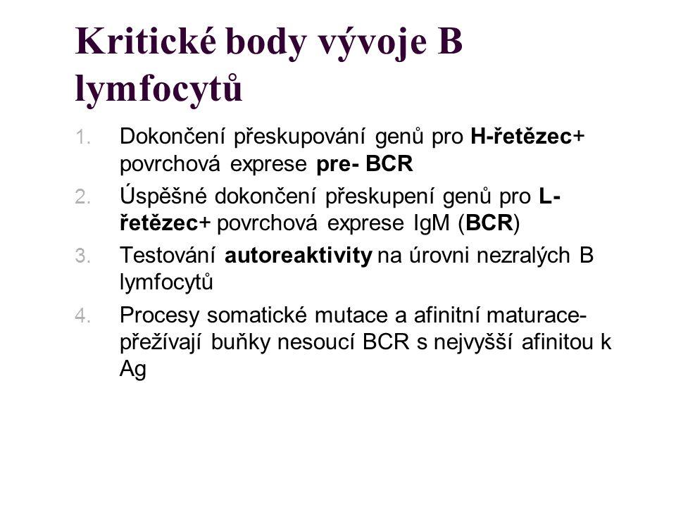 Kritické body vývoje B lymfocytů